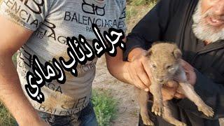 شاهد عثرنا على اربعة جراء ذئاب🐺 في محافظة الديوانية