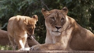 Wild Inside the National Zoo: Lion Pride