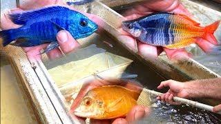 *STUNNING* African Cichlid Fish Farm
