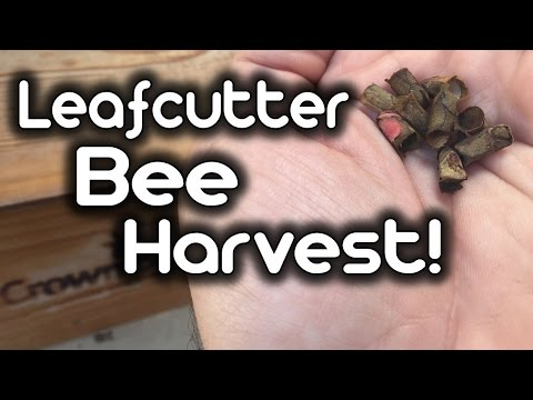 Leafcutter Bee Harvest!!
