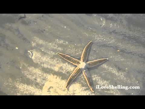 Live Starfish at Lighthouse Beach Sanibel, Florida