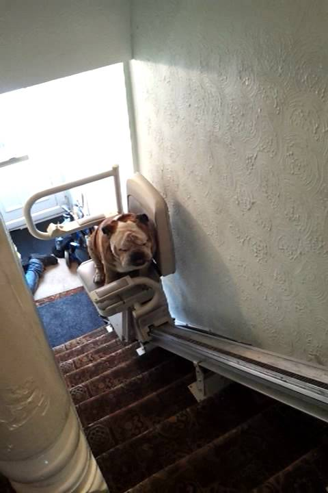 British bull dog taking the stair lift  YouTube