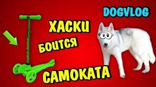 ХАСКИ БОИТСЯ САМОКАТА! Говорящая собака