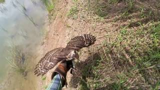 """G"" Female Crested Goshawk 1st years . 'Hunting while learning'"