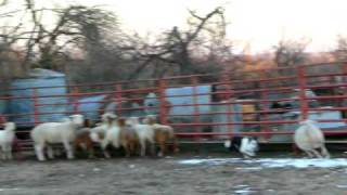 Amazing Border Collie herding sheep--getting one sheep out of a group by himself!