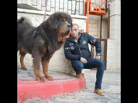 زياره الى كلب الماستيف التبتي اغلى كلب بالعالم بعد استغنائي عنه مع جمال العمواسي