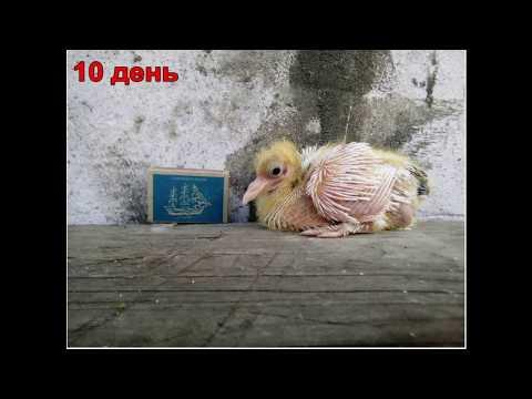 Как определить возраст голубя птенца