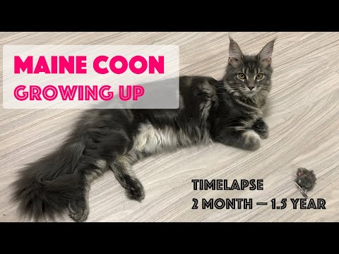 Maine Coon Growing Up. Timelapse