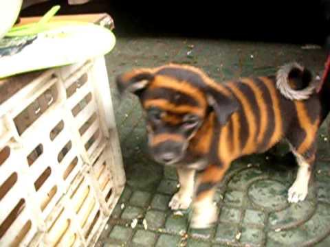 Wuxi China Bengal Dog Youtube