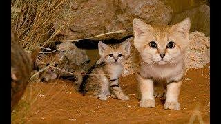 ピーターパンキャットと呼ばれる砂猫。 その可愛らしい姿の為に絶滅の危機に!