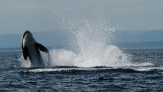 orca whale watching vancouver island canada.mp4