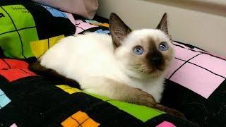Тайский котёнок Марсель в пути и в новом своём доме! Тайские кошки   это чудо! Funny Cats