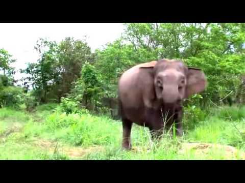 Documentary on the Jungle   Elephants
