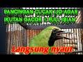 Murai Daun Bongkar Isian Meski Kondisi Sedang Nyisip  Mp3 - Mp4 Download