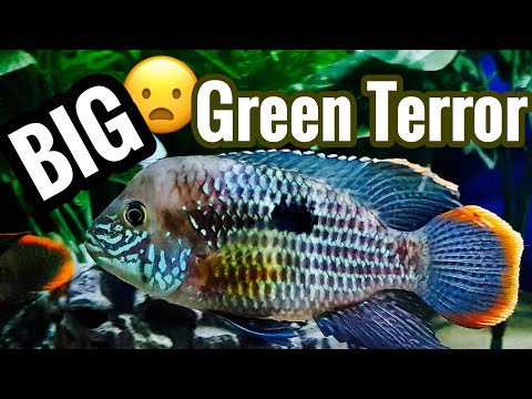 Full Grown Green Terror Cichlid Growth & Size