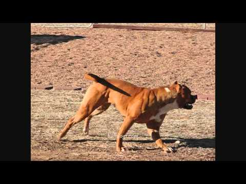 Muscle bandog bullies bully bulldog chrisy at buffdogs.wmv