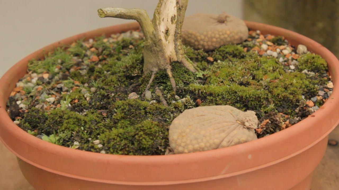 Porta adubos caseiro para plantas em vaso abc do bonsai youtube - Plantas para bonsai ...