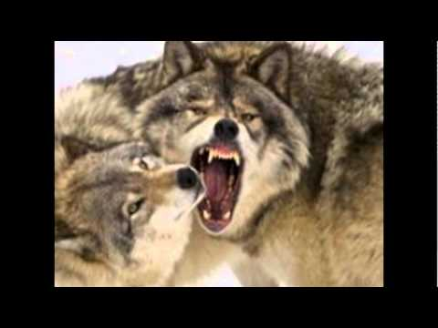 фото волки