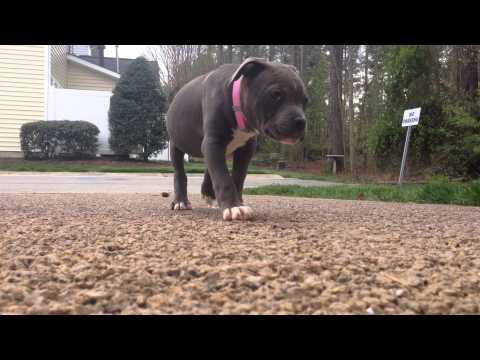 Meet Star - Razors Edge and Gotti Bloodline Blue Pitbull Terrier