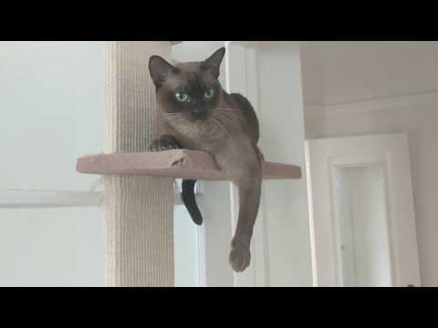 Burmese cat Matilda meows for attention