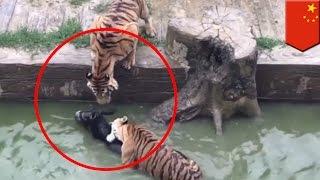 จับลาโยนลงบ่อเสือทั้งเป็น ผู้ชมตกตะลึงด้วยความสยอง