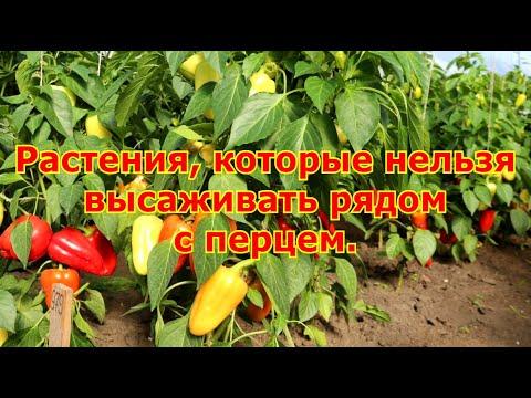 Растения которые нельзя высаживать рядом с перцем