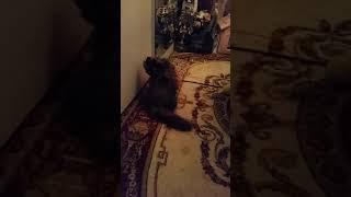Шотландский вислоухий котенок 4 месяца Fiji