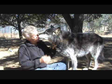 Raven  - Wolf Ambassador - 'I Kept My Word' - Wolf Man, Wolf Daddy