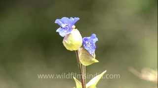 Commelina paludosa: a common Landour flower