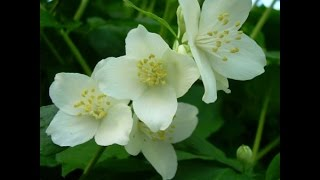 jasmine multiplying, inmultirea iasomiei, a