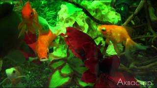 Пример речного оформления аквариума с золотыми рыбками.