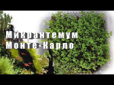 Микрантемум Монте-Карло