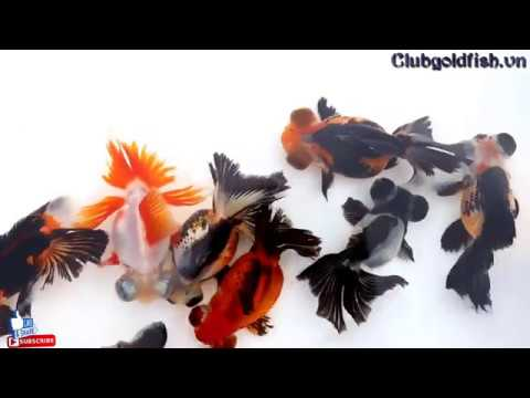 Butterfly Tail - Panda Butterfly Tail - Tricolor Butterfly Tail / Goldfish Club