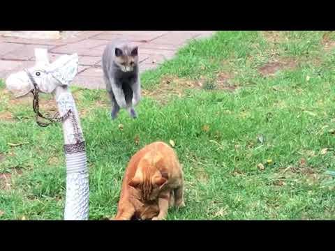 Cat Kangaroo Jumps Cats