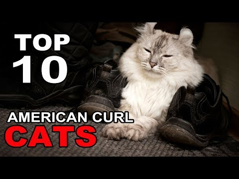 TOP 10 CUTE AND FUNNY AMERICAN CURL CATS BREEDS