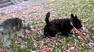 Scottish Terrier & miniature Schnauzer  Pink Snow