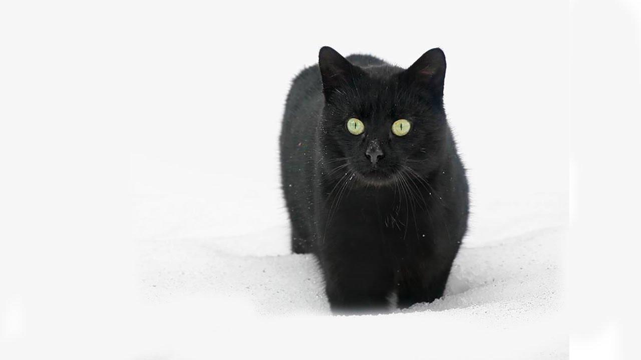 картинка черная кошка в снегу непросто