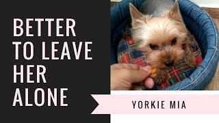 Yorkie Mia growling and barking