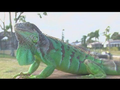 From bra to brawl: Iguana attacks Cape woman