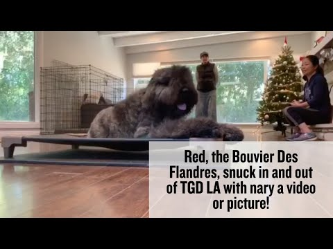 Red, the Bouvier Des Flandres, snuck in and out of TGD LA with nary a video or picture!