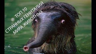 ТОП 10 Самых странных гениталий мира животных