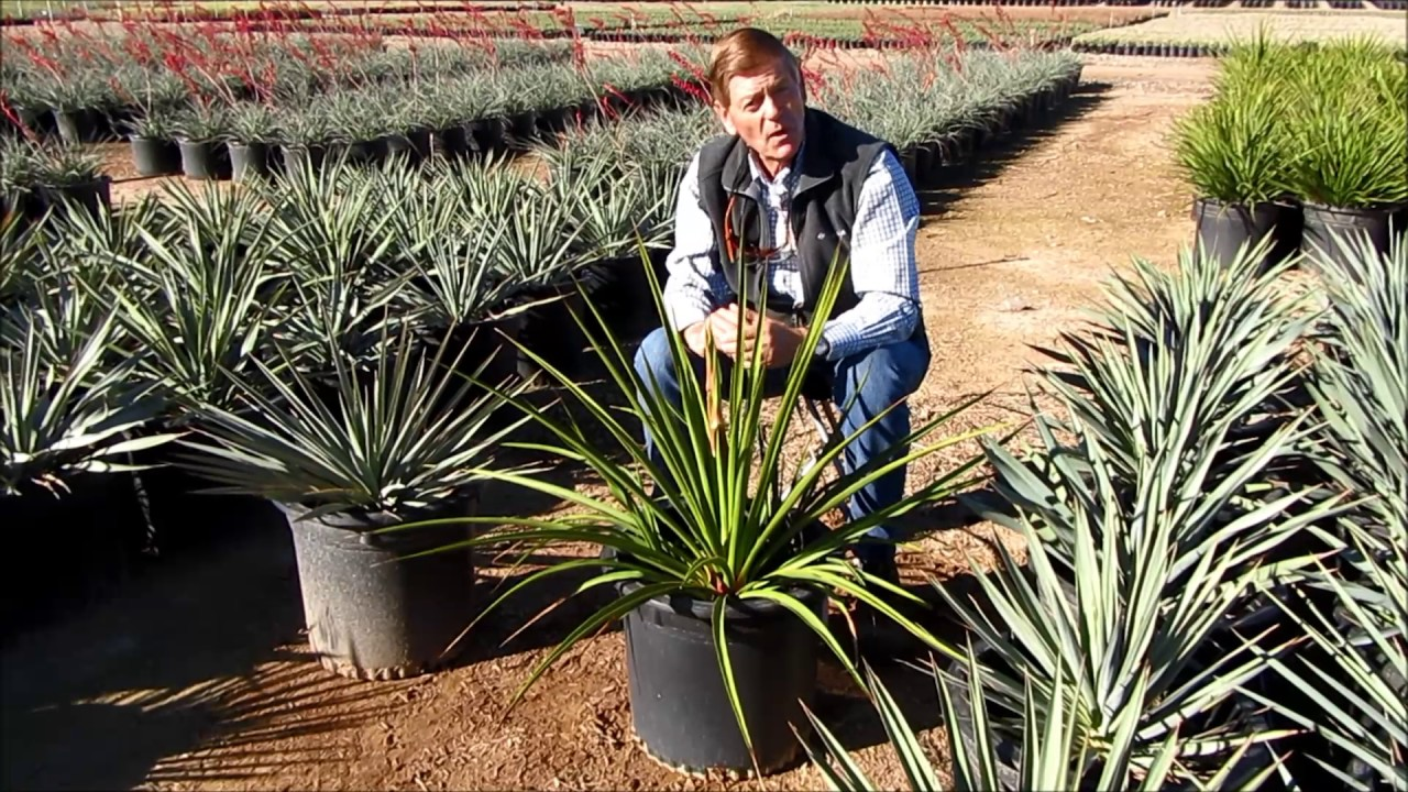 Mountain States Whole Nursery Yucca Pallida And Rupicola