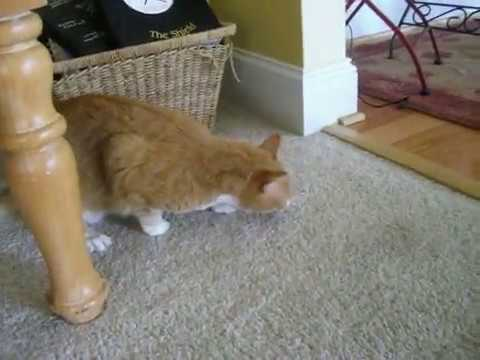 Cat Pukes  Minutes After Eating