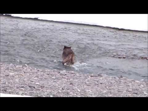 "Wild Black Wolf -Lamar Pack ""Spitfire""-Yellowstone"