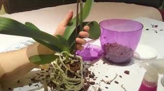 Как се прави присаждане на орхидея в специална почва (субстрат за орхидеи)