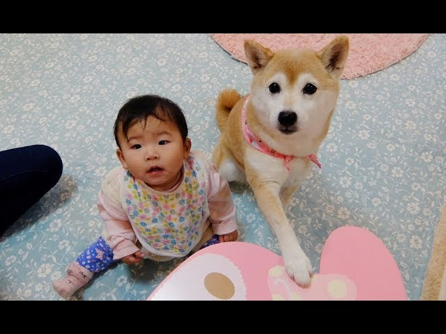 「なんでやねん!」つっこみ合う赤ちゃんと柴犬  Baby and Shiba Inu