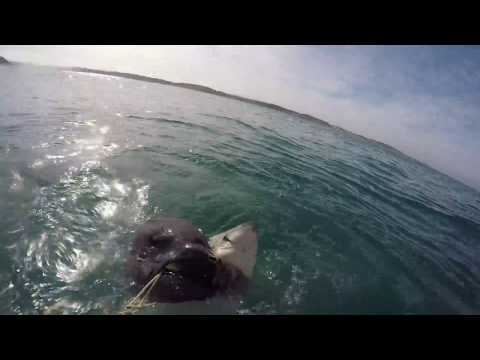 Great white shark cage diving at the Gansbaai Western Cape South Africa