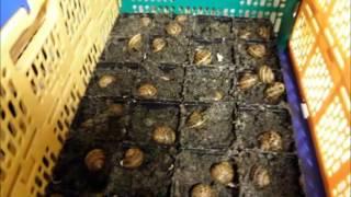 Hodowla ślimaków jadalnych w Polsce