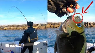 Catching Many HUGE Opaleye in a Short Time!