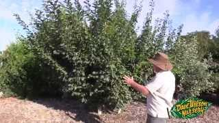 Summer Pruning Fruit Trees 2015